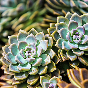 Succulents by Angelina Hills