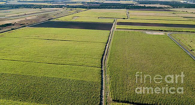 Sugar cane field by Rob D