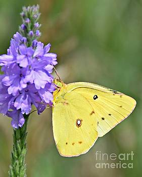 Sulfur Butterfly by Kathy M Krause