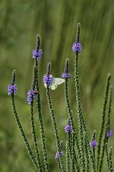 Nikolyn McDonald - Sulphur Butterfly - Blue Vervain