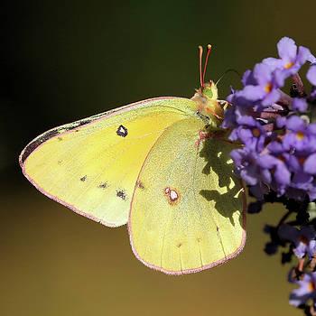 Sulphur Butterfly by Doris Potter