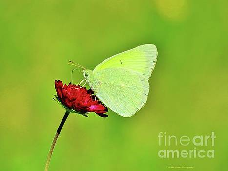 Sulphur Butterfly on Knautia by Michele Penner