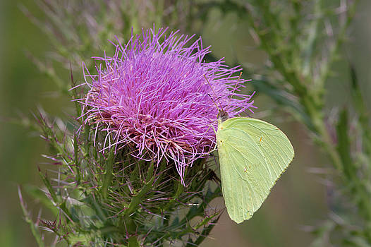 Sulphur Butterfly on Thistle by Paul Rebmann