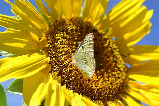 Sulphur on Sunflower by Jasmin's Treasures