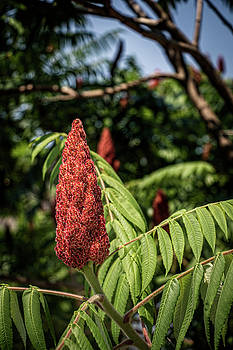 Sumac bloom by Jeff Sebaugh
