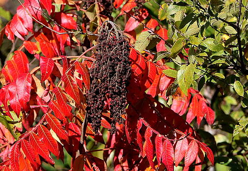 Sumac in Fall by Sheila Brown