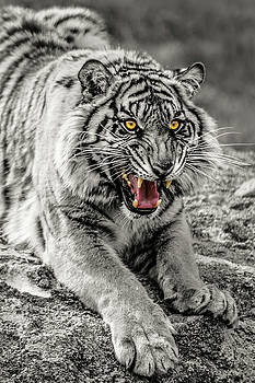 Sumatran Tiger BW W with Selective Color by Rob Green