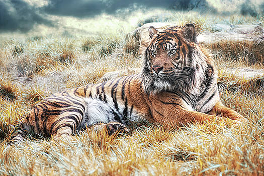 Sumatran Tiger by Joachim G Pinkawa
