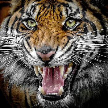 Sumatran Tiger Snarl by Wes and Dotty Weber