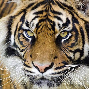 Sumatran tiger by Steev Stamford