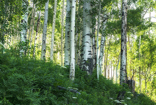 Summer Aspen Forest by Tim Reaves