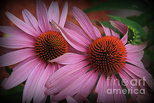 Summer Beauties - Coneflowers by Dora Sofia Caputo Photographic Design and Fine Art