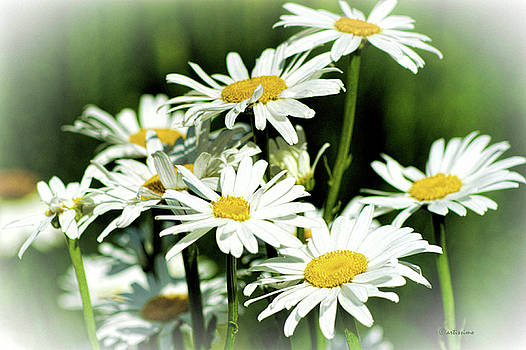Summer Daisies by ArtissiMo Photography