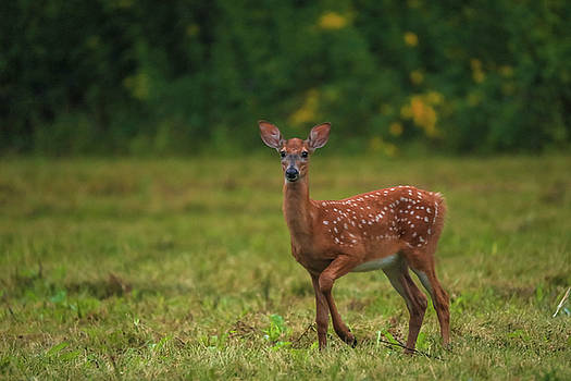 Summer Fawn by Dan Sproul