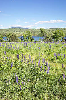 Summer Field with Lupines, Maine by Morgain Bailey
