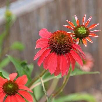 Coneflower  by Eve Tamminen