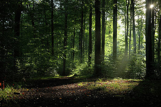 Martin Stankewitz - summer in the beech forest light beams