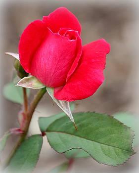 Rosanne Jordan - Summer Love Rosebud