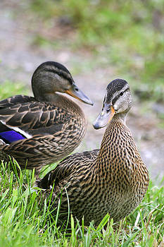 Deborah Benoit - Summer Mallard Couple