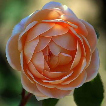 Rosanne Jordan - Summer Peachy Rose