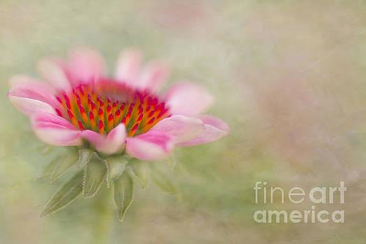 Susan Gary - Summer Pink Echinacea