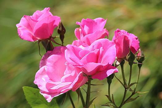 Rosanne Jordan - Summer Roses