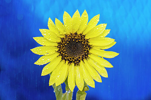 Summer Showers and Sunflowers by Matt McDonald