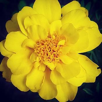 Summer Solstice Marigold by Amy Jo Garner