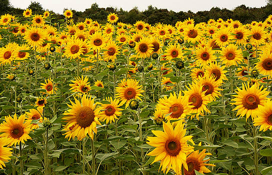 Summer Sunflowers by David Chennell