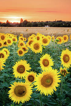 Summer Sunflowers by Kelvin Trundle