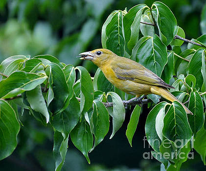 Summer Tanager by Maureen Cavanaugh Berry
