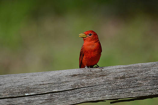 Summer Tanager On A Fence Shiloh Tennessee 052120152489 by WildBird Photographs