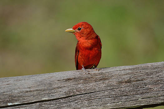 Summer Tanager On A Fence Shiloh Tennessee 052120152496 by WildBird Photographs