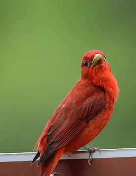 Summer Tanager Shiloh Tennessee 052120152636 by WildBird Photographs