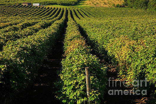 Summer Vines by Mike Dawson