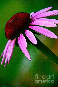 Summers Dream of a Purple Coneflower by Becky Kurth