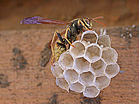 Summer's Wasp by Patricia Whitaker