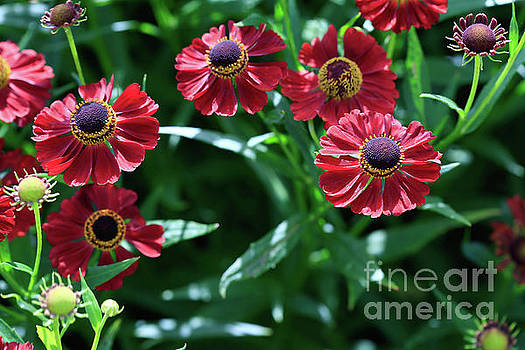 Summertime Heleniums by Tracy Hall