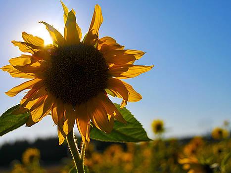 Sun and Sunflower by Brian Bonham