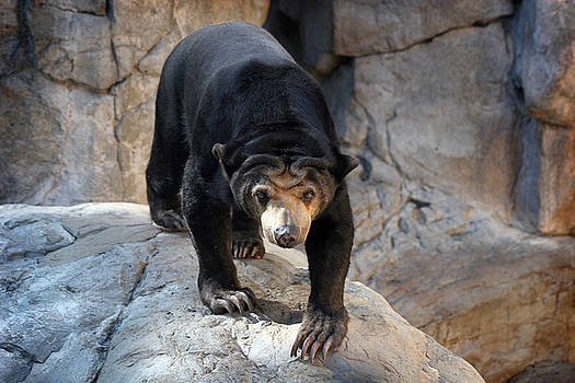 Sun Bear by Jeannie Burleson