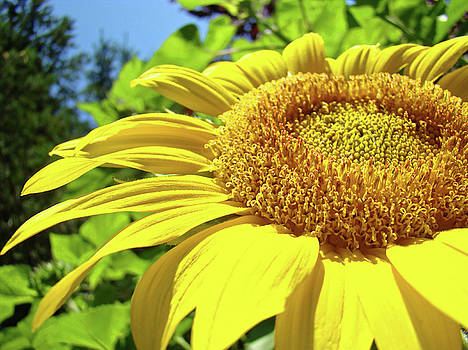 Baslee Troutman - SUN FLOWER Art Sunlit Sunflower Giclee Prints Baslee Troutman