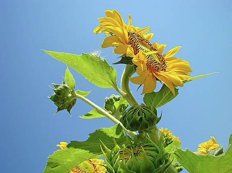 Baslee Troutman - SUN FLOWER Artwork Sunflower 5 Giclee Art Prints Baslee Troutman