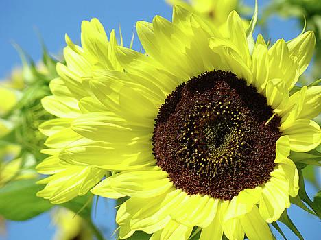Baslee Troutman - SUN FLOWER GARDEN Art Prints Sunflowers Baslee Troutman