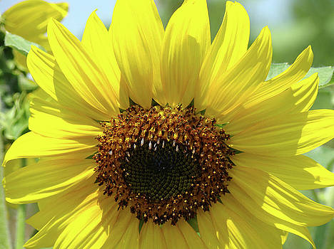 Baslee Troutman - SUN FLOWER GLOW Art Print Summer Sunflowers Baslee Troutman