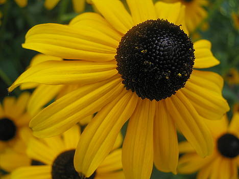 Sun Flower by Kim Dahn