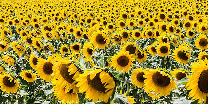 Tim Wilson - Sun Flowers Aplenty
