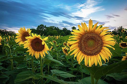 Sun Flowers by Dustin Ahrens