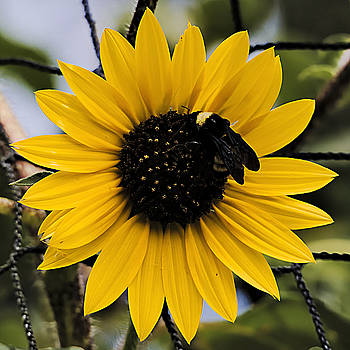 Sun Flowers Good For All by Philip A Swiderski Jr