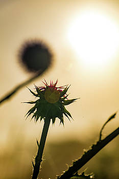 Sun Fog and a Thistle by Jeff Sebaugh