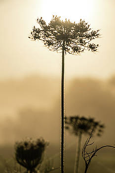 Sun Fog and Queen Ann's Lace by Jeff Sebaugh